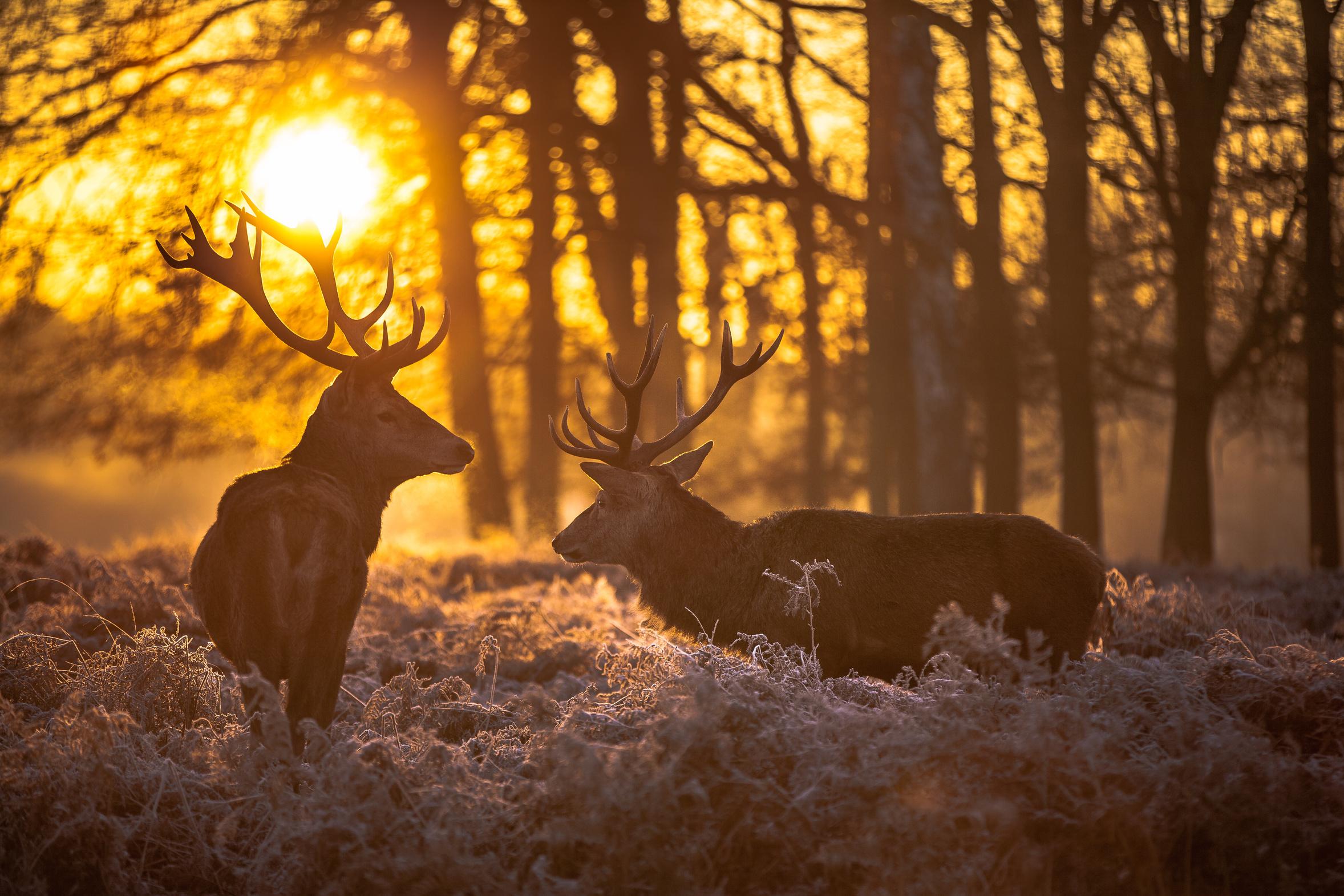 2 rote Hirsche in freier Natur bei Sonnenaufgang